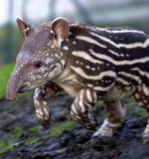 extincion-tapir